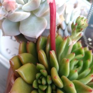多肉ジェイドポイントの花が咲いた♪