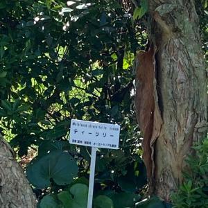 お茶の木ティートリー