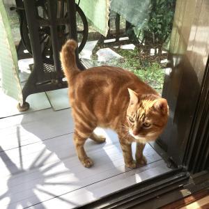 成猫同士が新たに同居する難しさ|猫と帰省6日目(Day488_2/20)