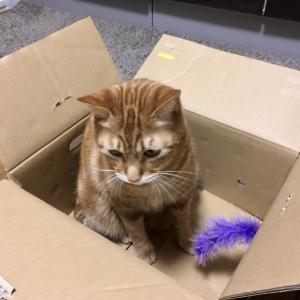 みかん箱を気に入り遊び倒す猫(Day824_1/21)