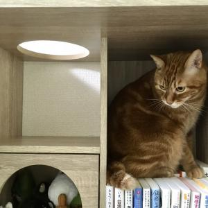 猫すごい…在宅勤務の仕事が終わった途端に「遊ぼ―!」と起きてきた(Day1074_9/27)