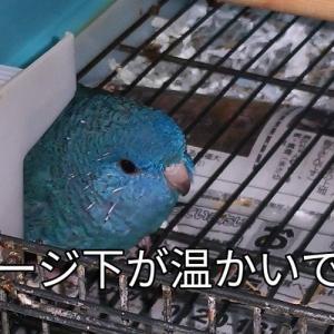 そらちゃん冬はケージの下に 古市庵の押し寿司 豚肉の生姜焼き