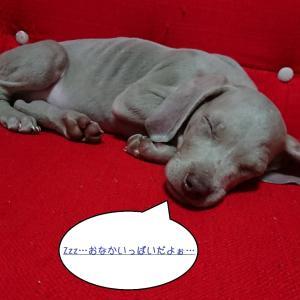 【犬種】ワイマラナーはどんな犬?元々王族に飼われていた犬種だった