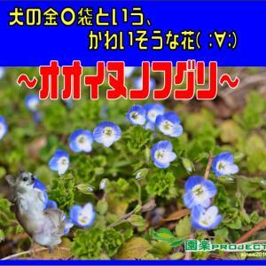 犬の金〇袋という、かわいそうな花( ;∀;)~オオイヌノフグリ~