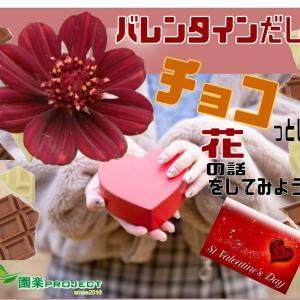 バレンタインだし、チョコっとした花の話をしてみようか