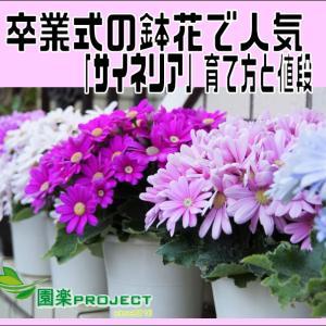 卒業式の鉢花で人気「サイネリア」育て方と値段