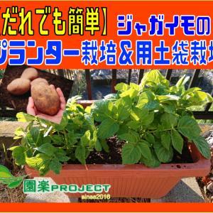 ジャガイモのプランター栽培&用土袋栽培【だれでも簡単】