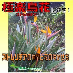 極楽鳥花(ストレリチア)に花を!ストレリチアの仲間と花の咲かせ方