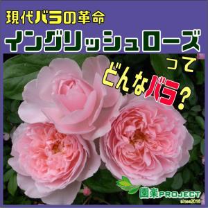 現代バラの革命イングリッシュローズってどんなバラ?