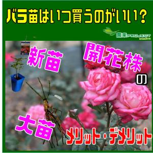 バラ苗はいつ買うのがいい?新苗・大苗・開花株のメリット・デメリット