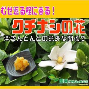 むせ返る程に香る!クチナシの花、栗きんとんとの意外な関係?