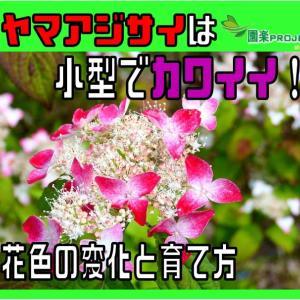 ヤマアジサイは小型でカワイイ!花色の変化と育て方