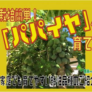 栽培簡単!「パパイヤ」の育て方。家庭でも育てやすい矮性品種のご紹介。