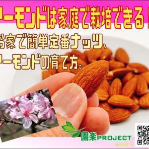 アーモンドは家庭で栽培できる!お家で簡単定番ナッツ、アーモンドの育て方。