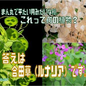 まん丸で平たい月みたいな種、これって何の植物?答えは合田草(ルナリア)です。