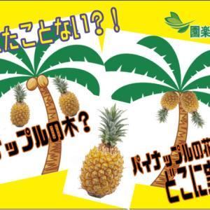 考えたことない!パイナップルの木?パイナップルの花ってどこ?どこに実るの?