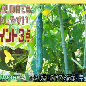 キュウリの育て方、失敗しやすいポイント3点。家庭菜園で育てる節なりキュウリ