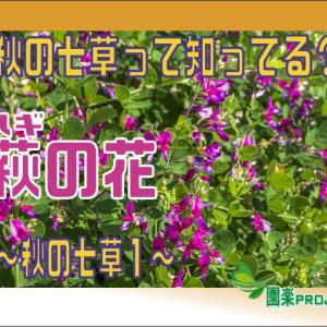 秋の七草って知ってる?萩(ハギ)の花 ~秋の七草1~
