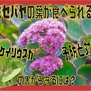 ミセバヤの葉が食べられる!ベンケイソウスガの害から守るには?予防と対策