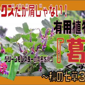 名前はクズだが屑じゃない!有用植物。グリーンモンスターの異名を持つ『葛』~秋の七草3~