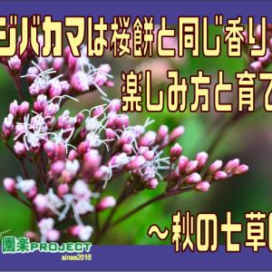フジバカマは桜餅と同じ香り?!楽しみ方と育て方~秋の七草6~