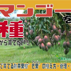 """マンゴーを種から育てたい!お家で育てる熱帯果樹""""芒果""""の植え方・管理・剪定"""