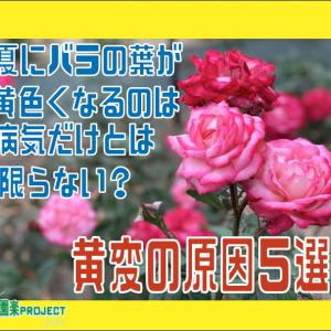 夏にバラの葉が黄色くなるのは病気だけとは限らない?黄変の原因5選