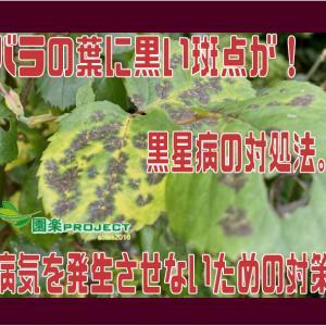 バラの葉に黒い斑点が!黒星病の対処法。病気を発生させないための対策