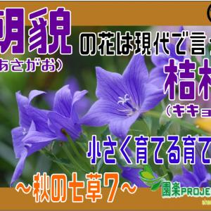 朝貌(あさがお)の花は現代で言う桔梗(キキョウ)小さく育てる育て方~秋の七草7~