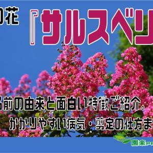 夏の花『サルスベリ』名前の由来と面白い特徴ご紹介。かかりやすい病気・剪定の仕方まで