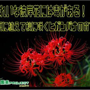 きれいな彼岸花には毒がある!夏に植えて秋に咲くヒガンバナの育て方