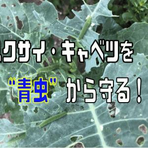 """ハクサイ・キャベツを大敵、害虫""""青虫""""から守る!!"""