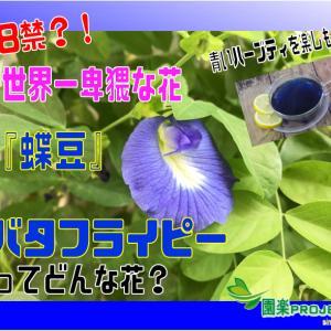 18禁?!世界一卑猥な花『蝶豆』バタフライピーってどんな花?青いハーブティを楽しもう!