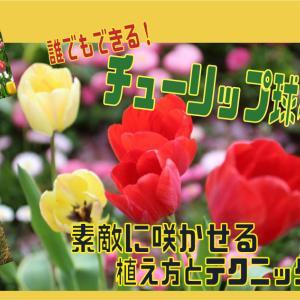 誰でもできる!チューリップ球根、素敵に咲かせる植え方とテクニック