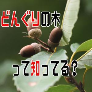どんぐりの木って知ってる?美味しいドングリ・まずいドングリ。簡単あく抜きの仕方まで