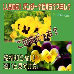 【人気の花】パンジー?ビオラ?スミレ?この苗どっち?結構知らない違いと見分け方。