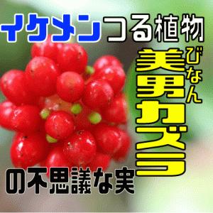 """イケメンつる植物""""美男カズラ""""の不思議な実"""