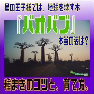 星の王子様では地球を壊す木『バオバブ』本当の姿は?種まきのコツと、育て方。