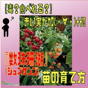 【毒?食べれる?】赤い実がカワ(・∀・)イイ!!『数珠珊瑚(ジュズサンゴ)』苗の育て方
