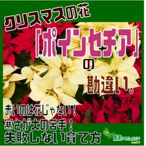クリスマスの花「ポインセチア」の勘違い。赤いのは花じゃない!寒さが大の苦手!失敗しない育て方