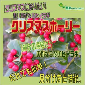 【クリスマスに飾りたい】赤い実がなるヒイラギ『クリスマスホーリー』・【節分の魔除け】実がならないヒイラギ。だれでも簡単!見分け方と特徴。