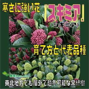 寒さに強い花『スキミア(シキミア)』育て方と代表品種・東北地方でも屋外で越冬可能な常緑樹