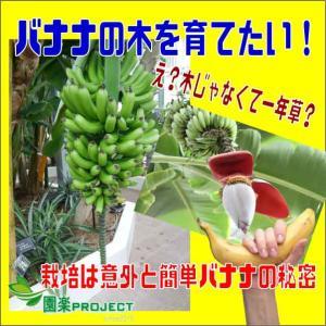 バナナの木を育てたい!え?木じゃなくて一年草?栽培は意外と簡単バナナの秘密