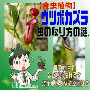 【食虫植物】ウツボカズラ 虫の取り方の謎.育て方は?なぜ袋が枯れる?袋が小さくなる原因は?