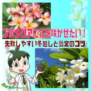 プルメリアに花を咲かせたい!失敗しやすい冬越しと剪定のコツ
