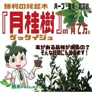 勝利の縁起木『月桂樹』の育て方。ハーブ・生垣・観賞樹マルチに使える。毒がある品種がある?そんな疑問にも答えます!