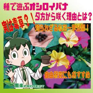 種で遊ぶオシロイバナ、夕方から咲く理由とは?実は毒草!知られざる秘密一挙公開!自由研究にもおすすめ
