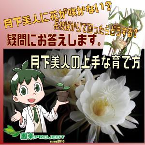 月下美人に花が咲かない?長枝ばかりで困ったらどうする?疑問にお答え。月下美人の上手な育て方