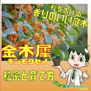 """香りのいい庭木""""金木犀(キンモクセイ)""""の秘密と育て方"""