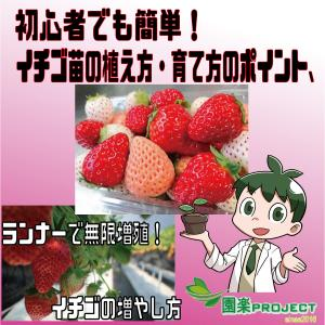 初心者でも簡単!イチゴ苗の植え方・育て方のポイント、ランナーで無限増殖!イチゴの増やし方